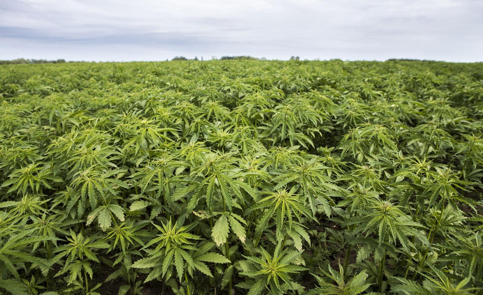 hemp plantation